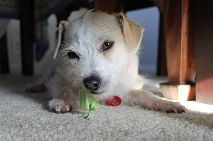 A close up of a dog sitting under a table eating a broccoli stalk