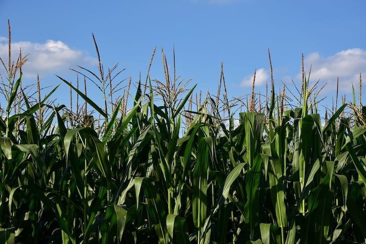 Green field of corn stalks with blue sky above