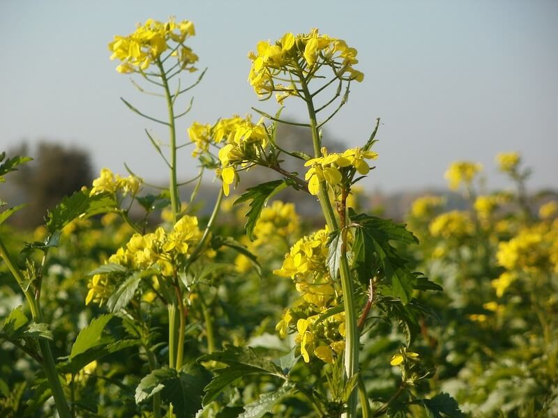 Is Canola oil healthy- rapeseed plant