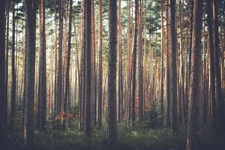 Forest filled with pine bark