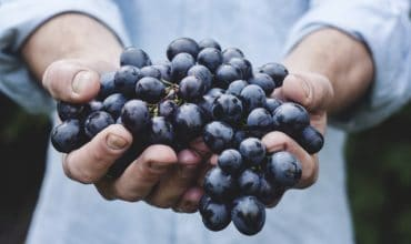 Hands holding a bunch of purple grapes